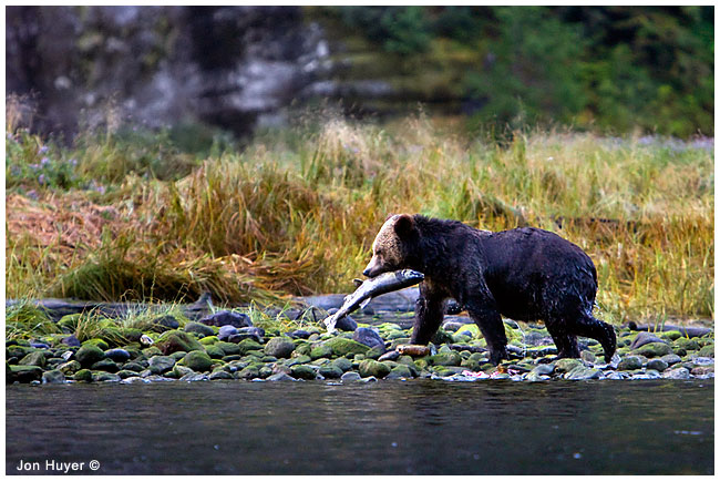 Grizzly bear with salmon by Jon Huyer ©