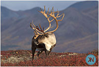 Caribou by Kaylene Newsom