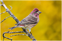 Purple Finch by Ken Crebbin ©