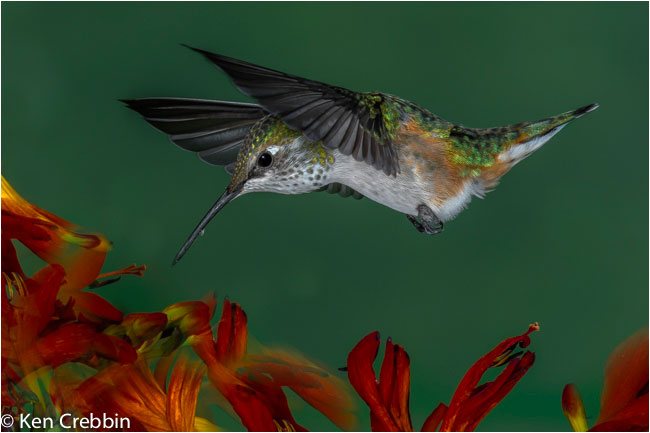 Ruby-throated hummingbird  by Ken Crebbin ©