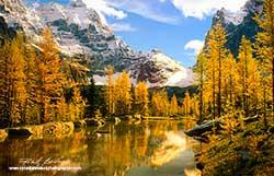Larches at Lake O'hara by Dr. Robert Berdan ©