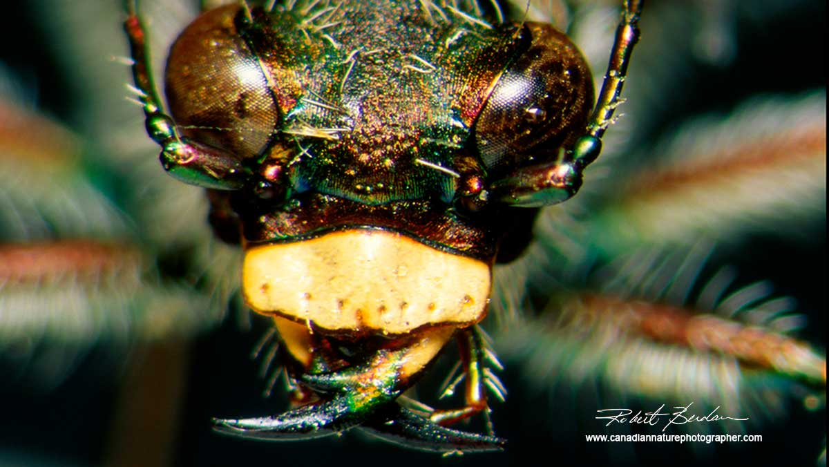 Tiger Bettle portrait by Robert Berdan ©