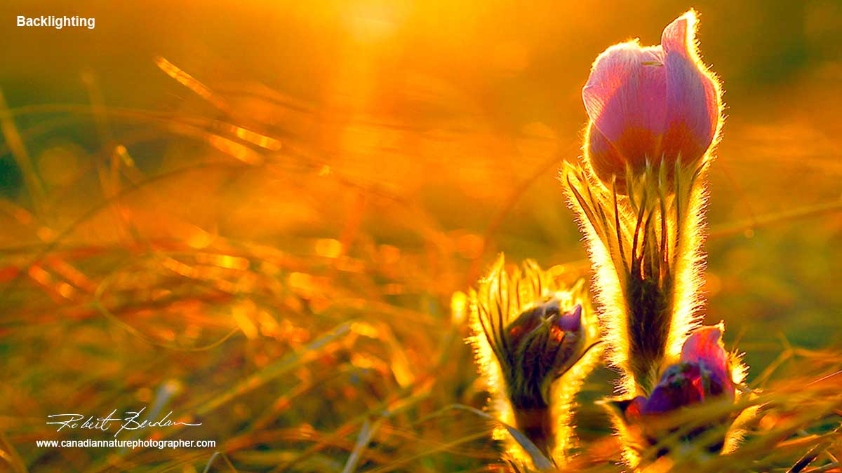 Prairie Crocus flowers  by Robert Berdan ©