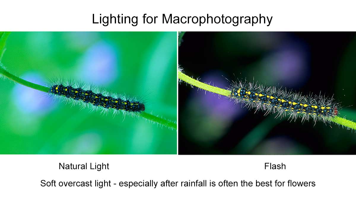 Natural light versus flash for Macrophotography by Robert Berdan ©
