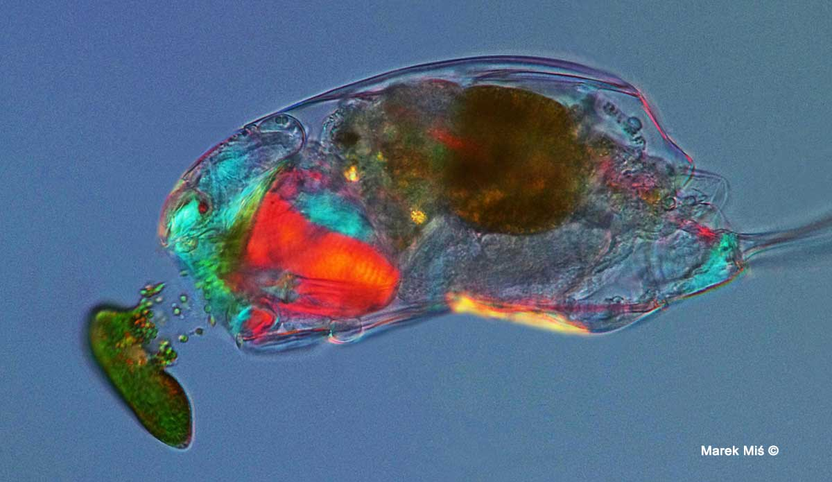 Rotifer in polarized light by Maret Mis ©