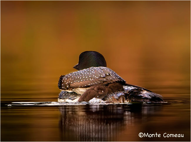 Common Loon by Monte Comeau ©