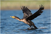 Double-crested Cormorant by Monte Comeau ©