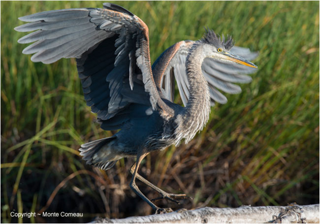 Blue Heron by Monte Comeau ©