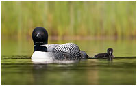 Loons by Monte Comeau