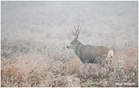 Mule deer Buck by Robert Berdan ©