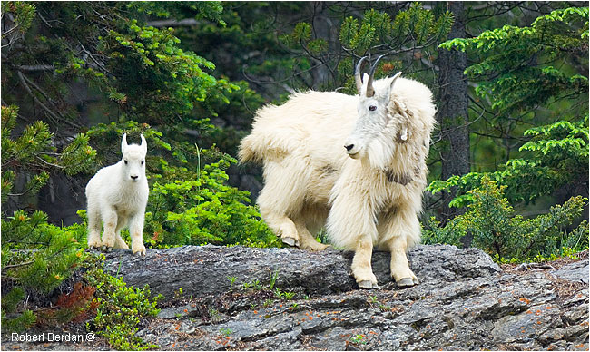 Mountain goats by Robert Berdan ©