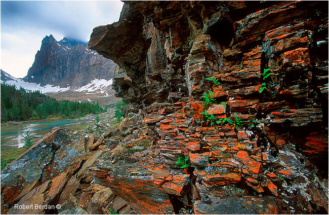Rock ledge, lichen and ferns, Opapin Plateau, Lake O'hara region by Robert Berdan ©