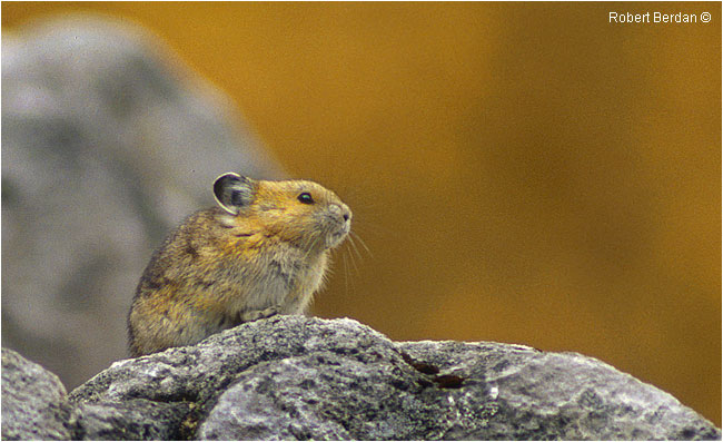 Pika by Robert Berdan ©