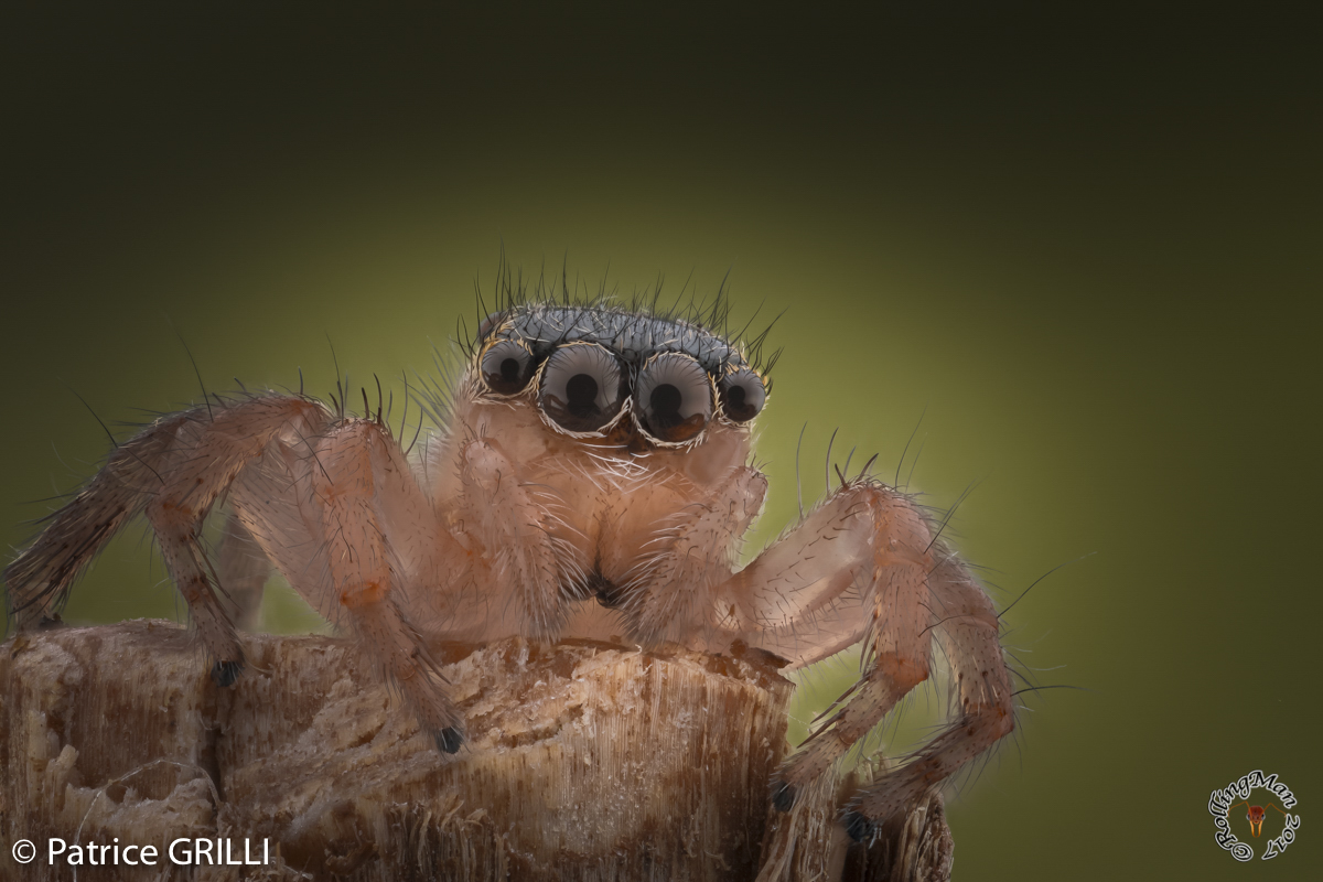 Salticidae - spider by Patrice Grilli ©