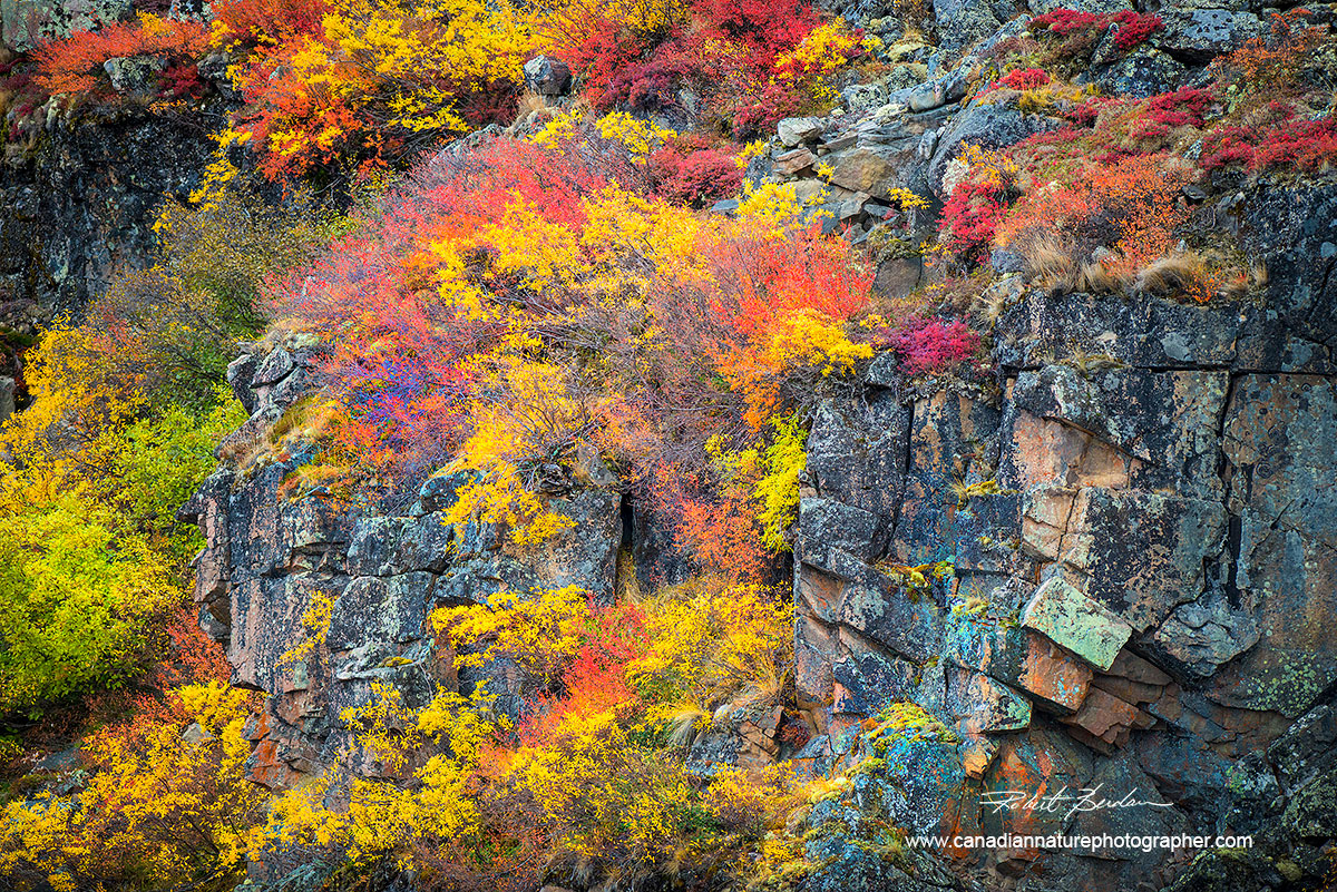 Dwarf Birch and willow on cliffsidde abstract photo by Robert Berdan ©
