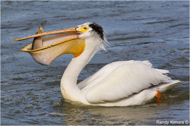 Pelican with fish by Randy Kimura ©