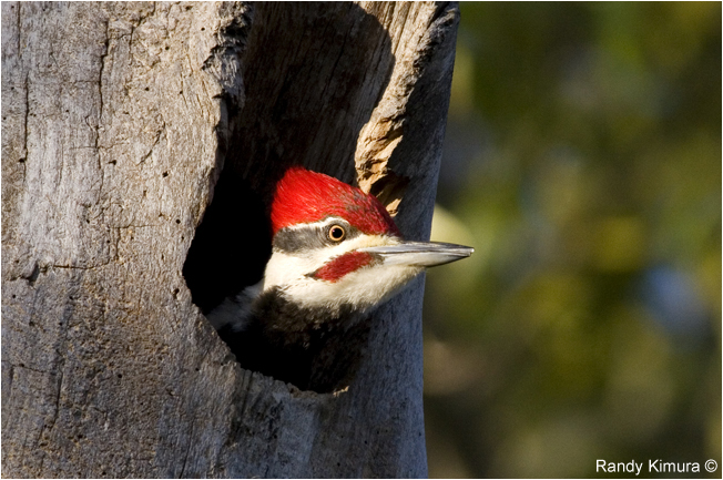 Pileated Woodpecker by Randy Kimura ©