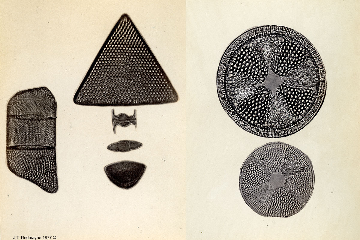 Diatoms Left: Plate 55 1 Actinosphenia halionyx 2 Actionsphenia spendens 500X Right: Plate 78 Helipelta and Actinoptychus undulatus 500X  by J.T. Redmayne 1877
