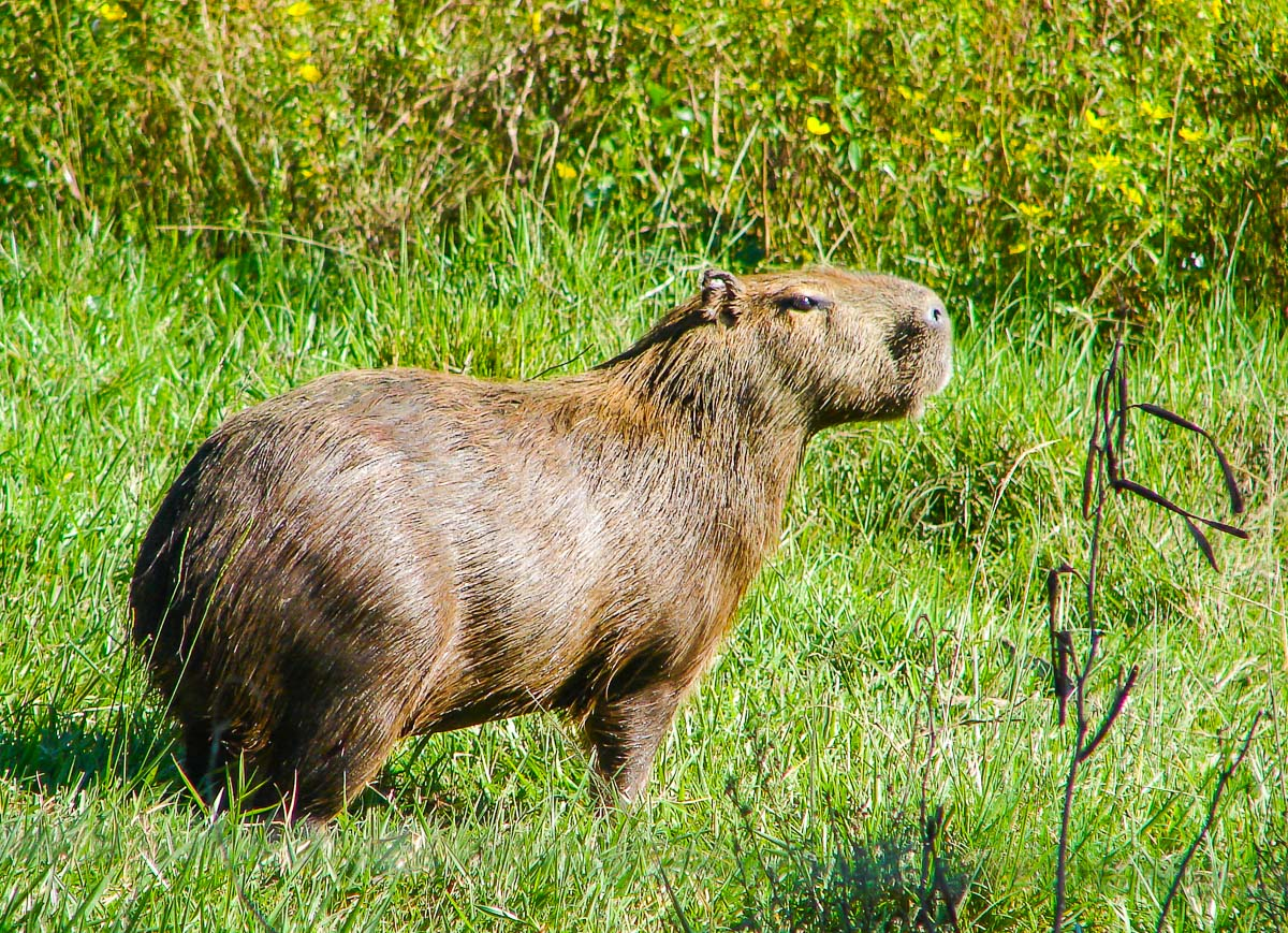 Capybara, the World's largest rodent can weight up to 65 Kg by Reinhard Thomas ©