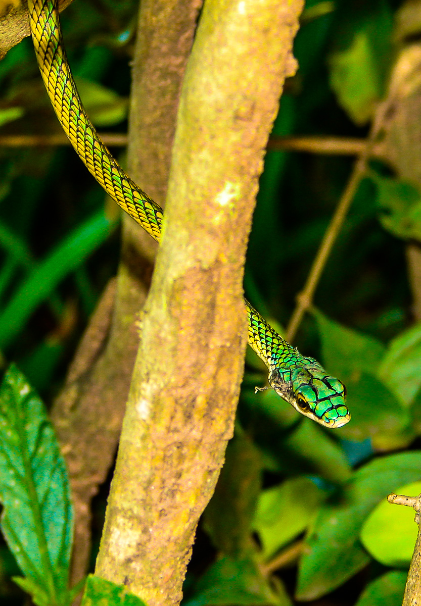 Parrot Snake  by Reinhard Thomas ©