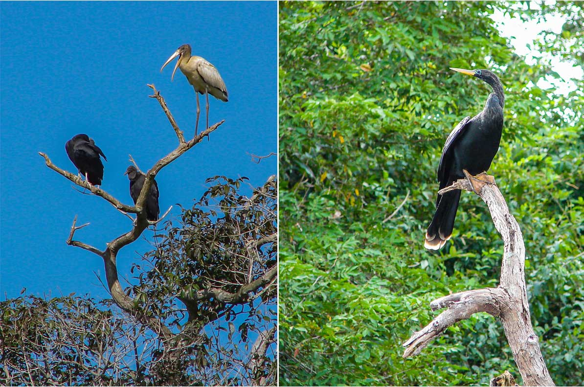 Left: Cocoi Heron and two Black Vultures. Right: Large Anhinga along the river by Reinhard Thomas ©