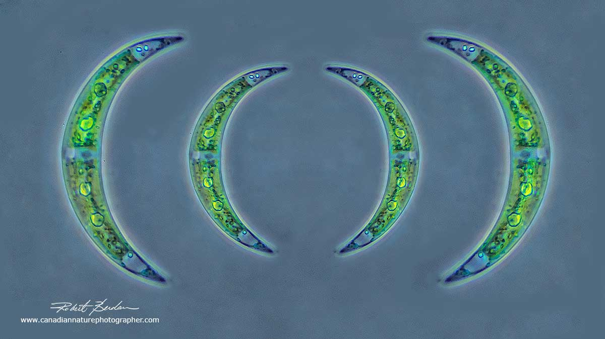 Desmids are one celled algae found in ponds - Closterium species  by Robert Berdan ©