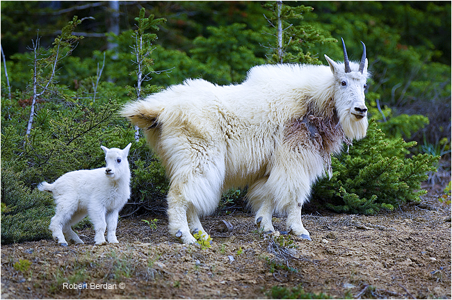 Mountain Goats by Robert Berdan