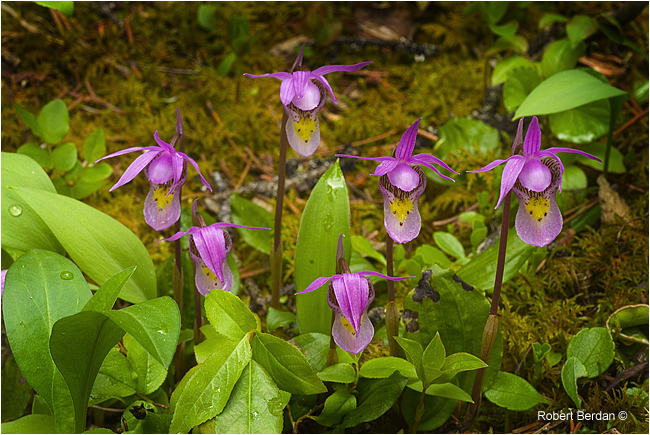 Calypso orchids by Robert Berdan