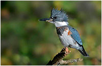 Belted King Fisher, Mud Lake, Ottawa by Rudy Pohl ©
