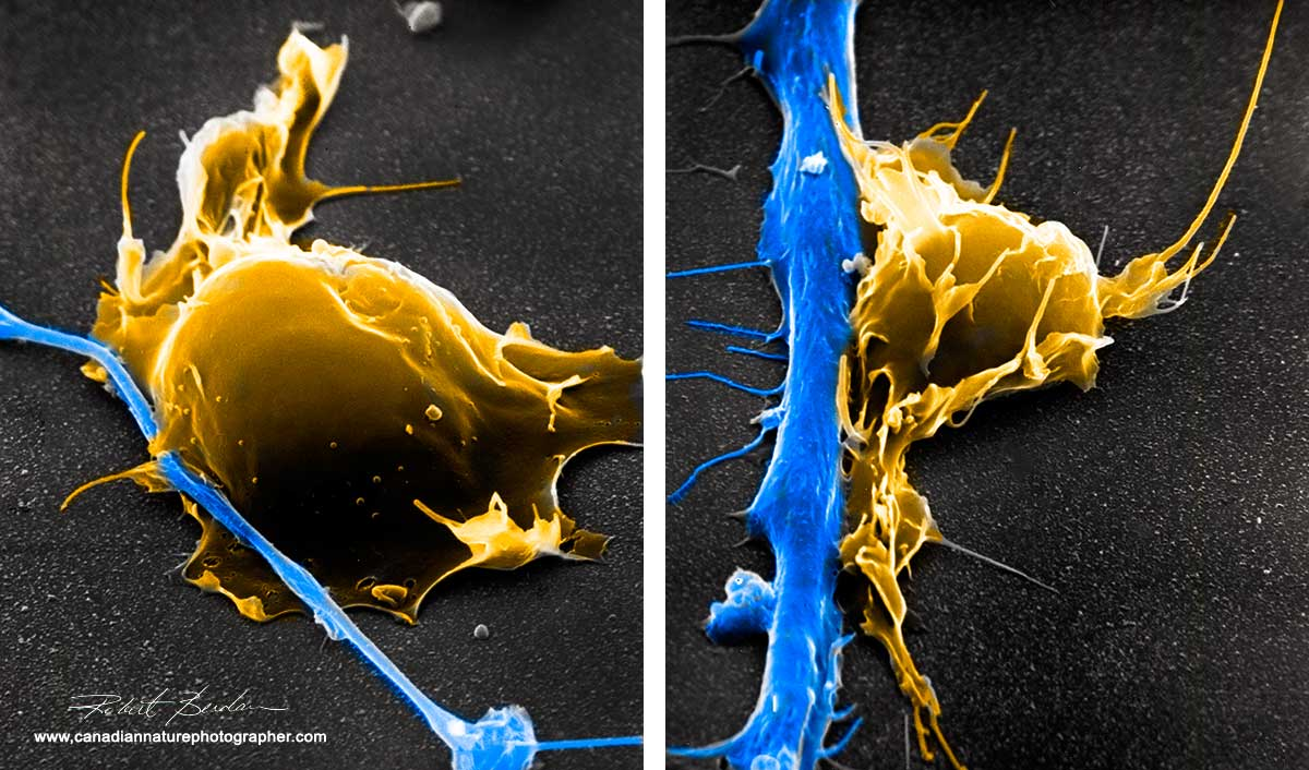 Hemocytes attached to neurites in culture scanning electron microscopy by Robert Berdan ©