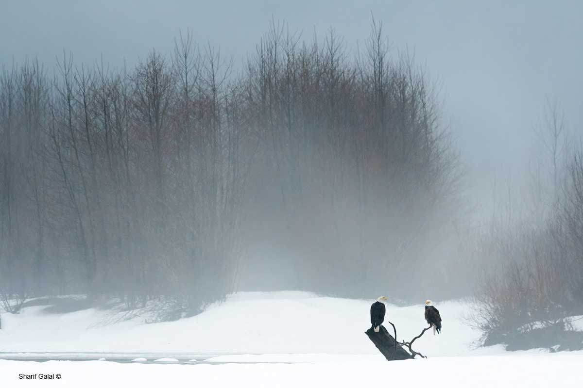 Bald Eagles - Brakendale, British Columbia  by Sharif Galal ©