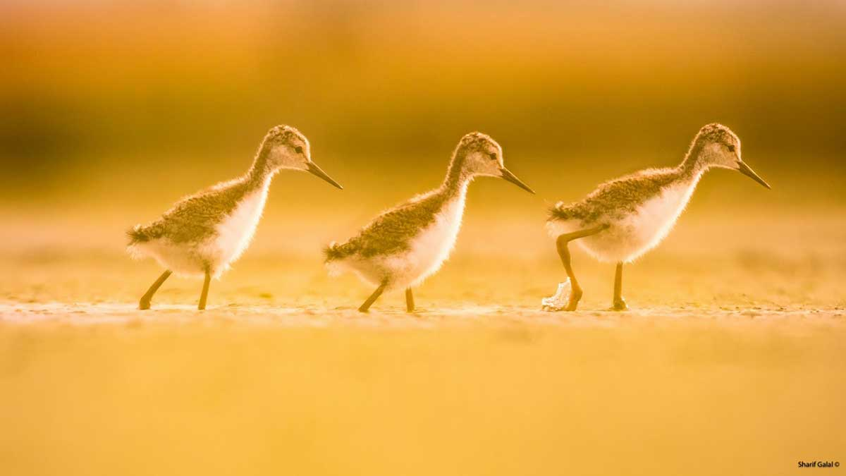 Young Black-necked Stilts at sunset - Frank Lake, AB  by Sharif Galal ©