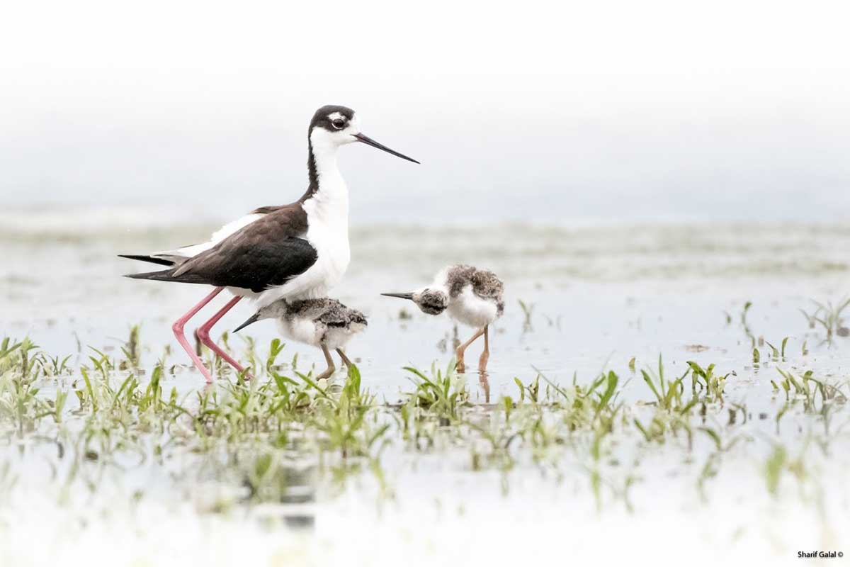 Young Black stilt taking shelter from the rain by Sharif Galal ©