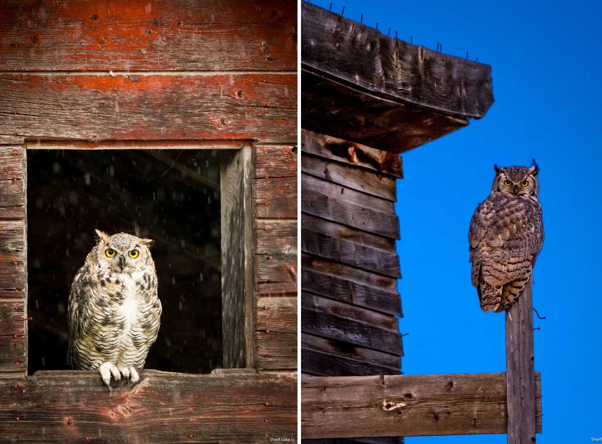 Great Horned Owls  by Sharif Galal ©