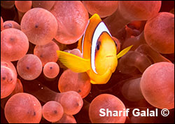 Underwater photography by Dr. Sharif Galal  ©