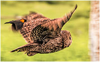 Great Grey owl chased by Red-winged blackbird by Sharif Galal.