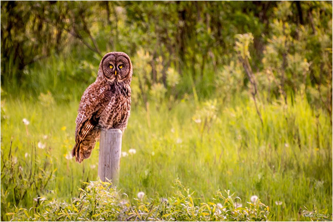Great Grey Owl on post by Sharif Galal ©