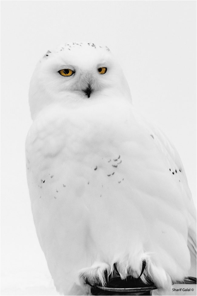 Male Snowy Owl  by Dr. Sharif Galal ©
