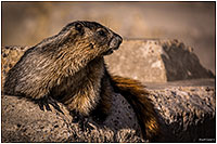 Marmot by Dr. Sharif Galal ©