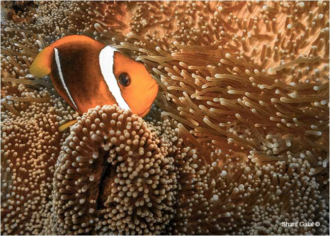 The clown fish anemonefish by Dr. Sharif Galal  ©