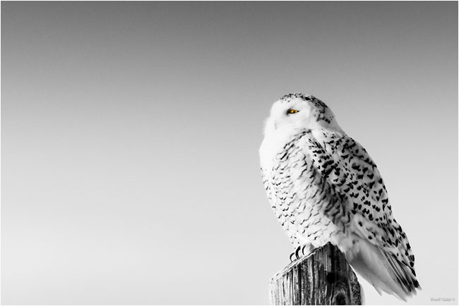 Female snowy owl  by Dr. Sharif Galal ©
