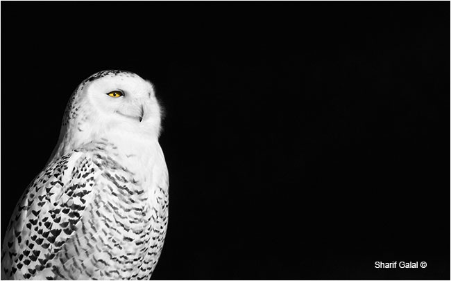 Female snowy owl infrared photo by Dr. Sharif Galal ©
