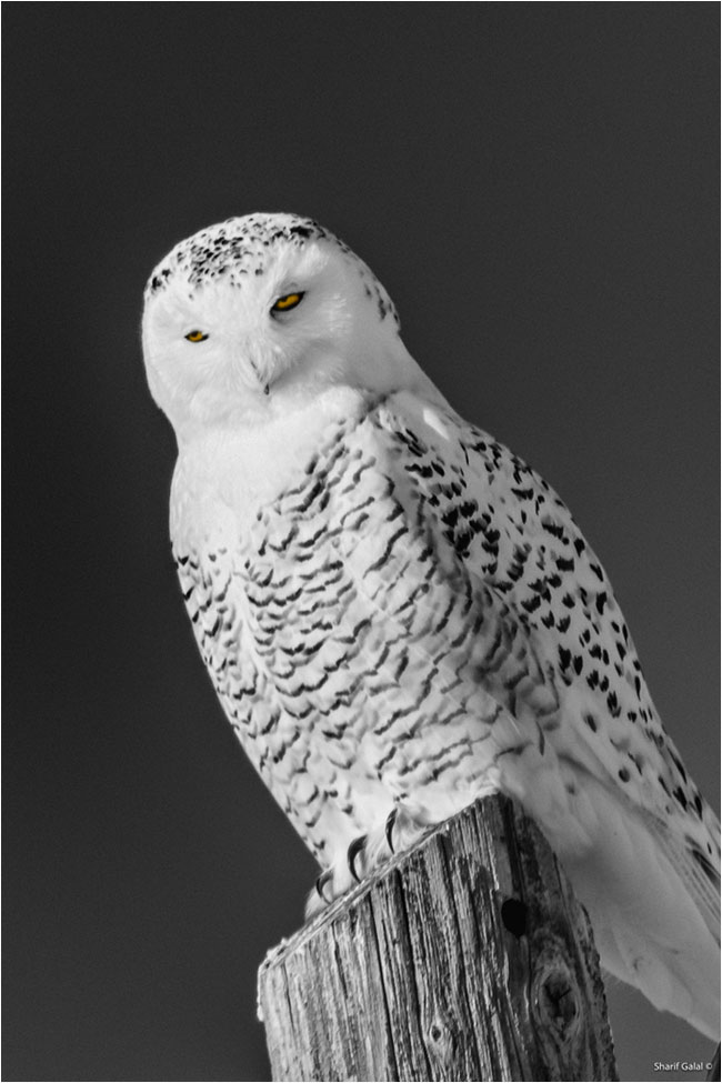 Female snowy owl on fence post by Dr Sharif Galal ©
