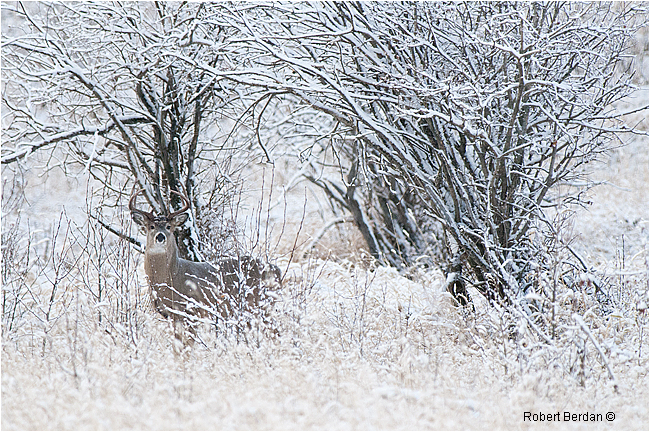 White-tail buck by  Robert Berdan ©