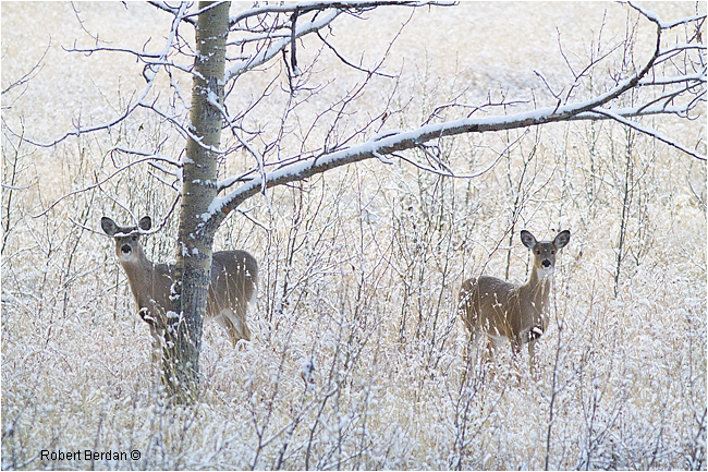 White-tail Doe and Fawn by Robert Berdan ©