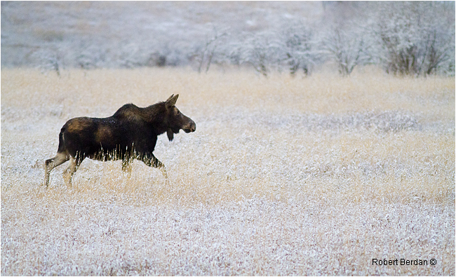 Moose by Robert Berdan ©