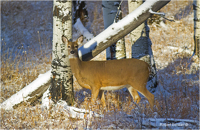 White-tail deer in Sheep River Sanctuary by Robert Berdan ©