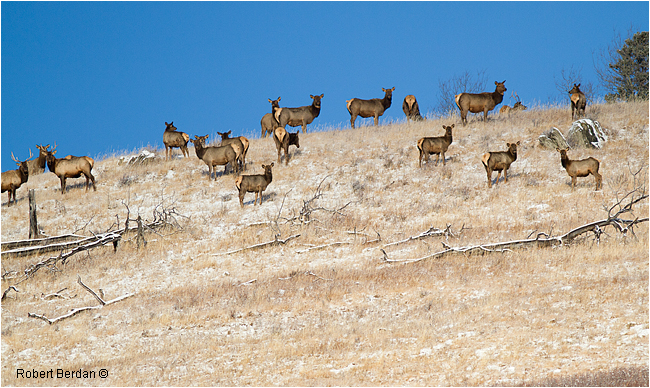 Elk in Sheep River Sanctuary by Robert Berdan ©