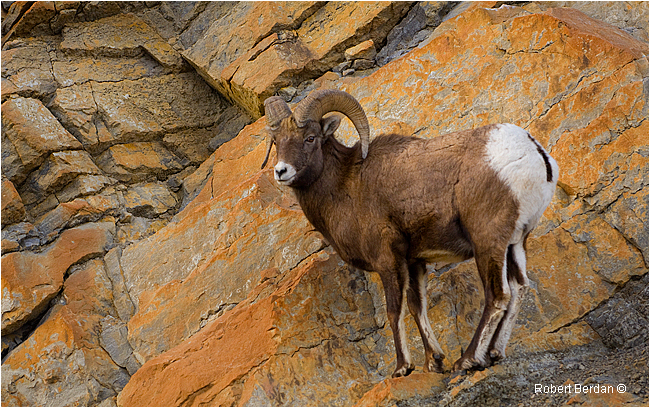 Big horn Sheep on Rock ledge by Robert Berdan ©