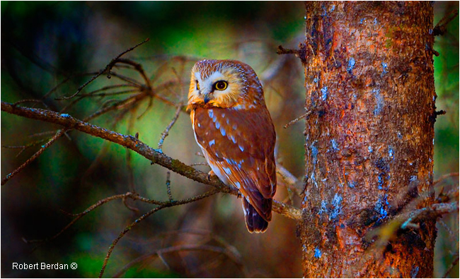 Northern Saw Whet Owl by Robert Berdan ©
